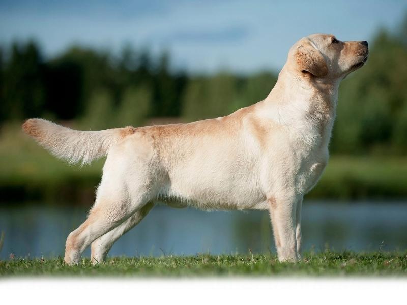 our-dogs-junior-champion-orestes-gf-resto-17-mon
