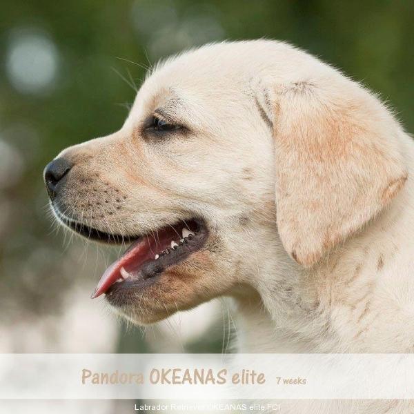 pandora-okeanas-elite-7-weeks-http-okeanas-lt-pa-1882484149928
