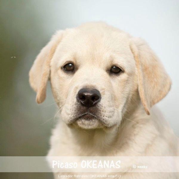 picaso-okeanas-elite-10-weeks-http-okeanas-lt-pi-1926232363606