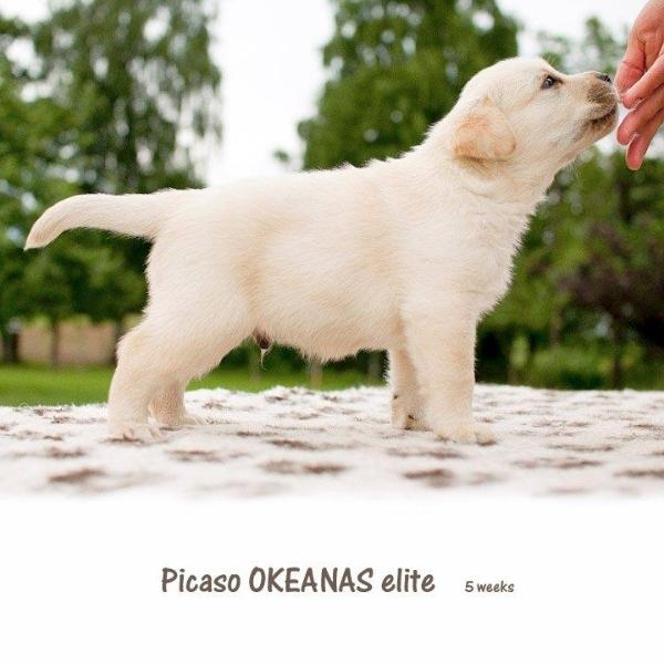 picaso-okeanas-elite-5-weeks-male-nr-2-http-okea
