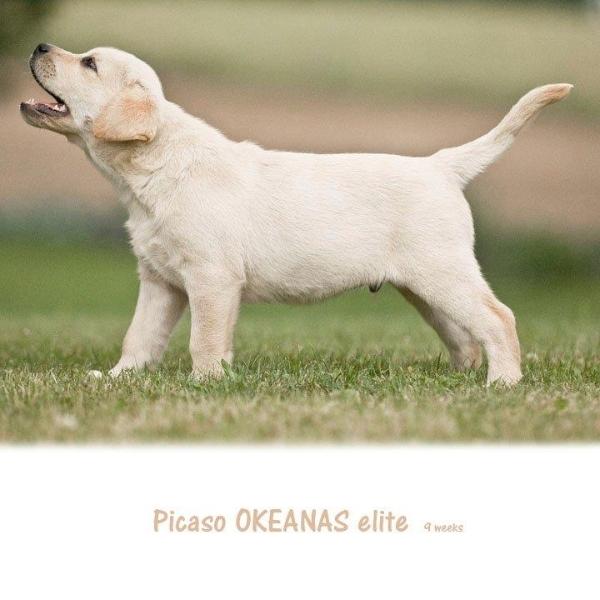 picaso-okeanas-elite-for-sale-9-weeks-http-okean-1911684319914