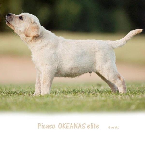 picaso-okeanas-elite-for-sale-9-weeks-http-okean