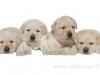 cute-puppies-http-www-okeanas-lt-vada_v-html