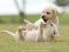 puppies-from-us-killers-from-litter-p