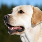 Labrador-OKi.labradoro retriveris