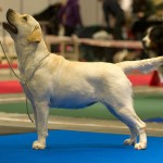 Labrador-retriever-kami