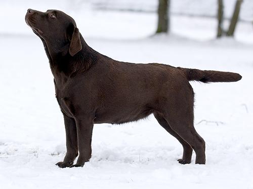 Labrador Gabi