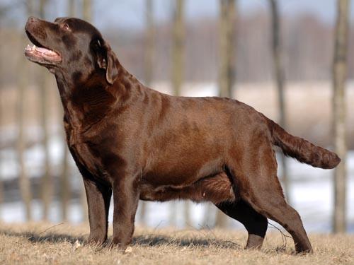 Labrador Dipsi