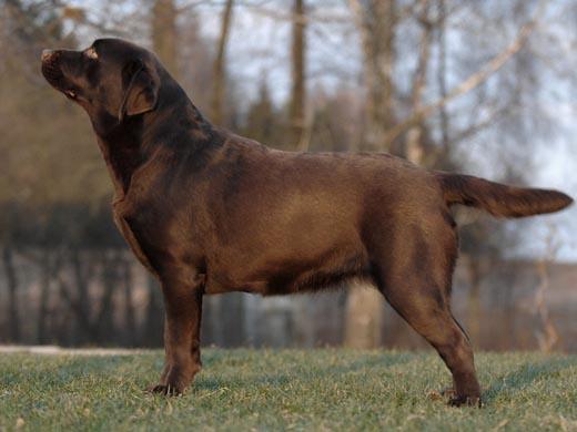 Labrador Jolli