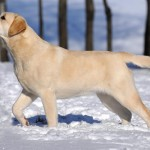Labradoro retriveriai OKi. labradoro retriveris
