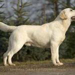 Otto 17 months  Labrador Retriever