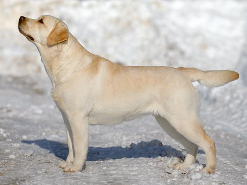 Labrador_oki