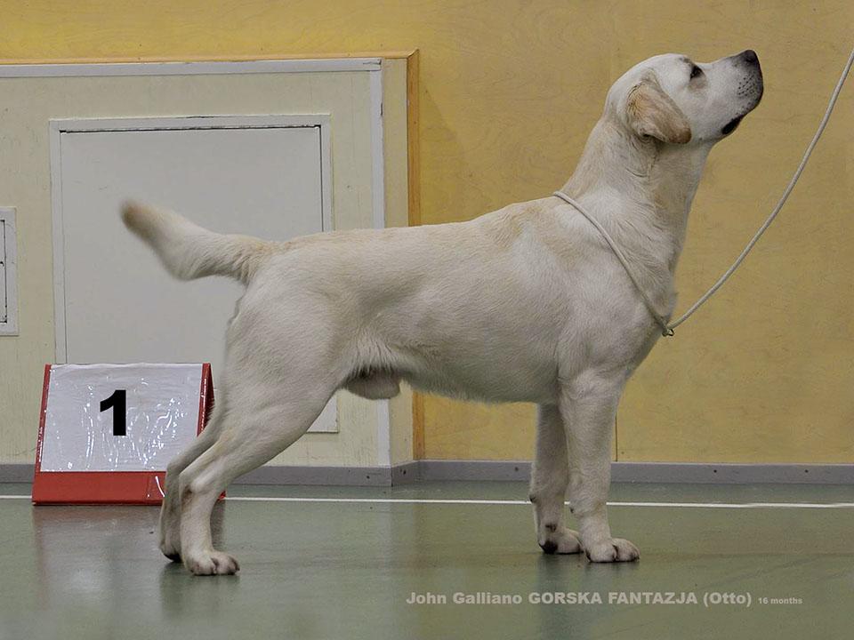 OTTO 16 months. labrador retriever