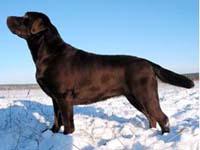 Labrador Rtriever.Sharon