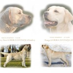 Labradoro retriveriai OKEANAS. Labrador retriever