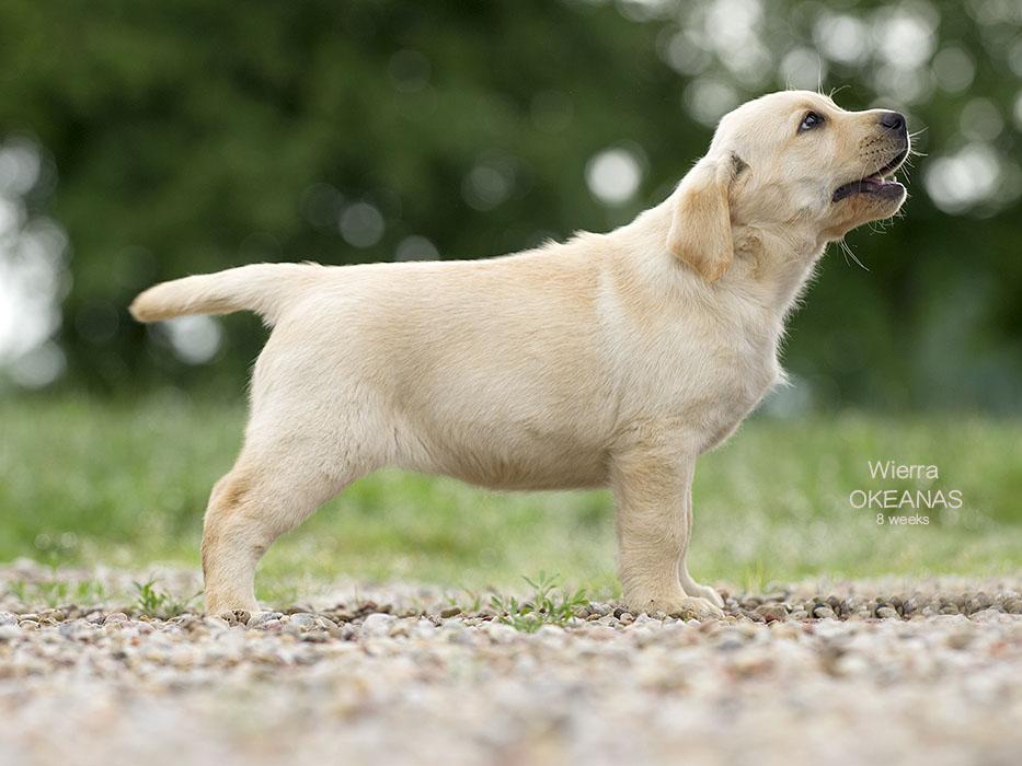 Labradoras Wierra OKEANAS
