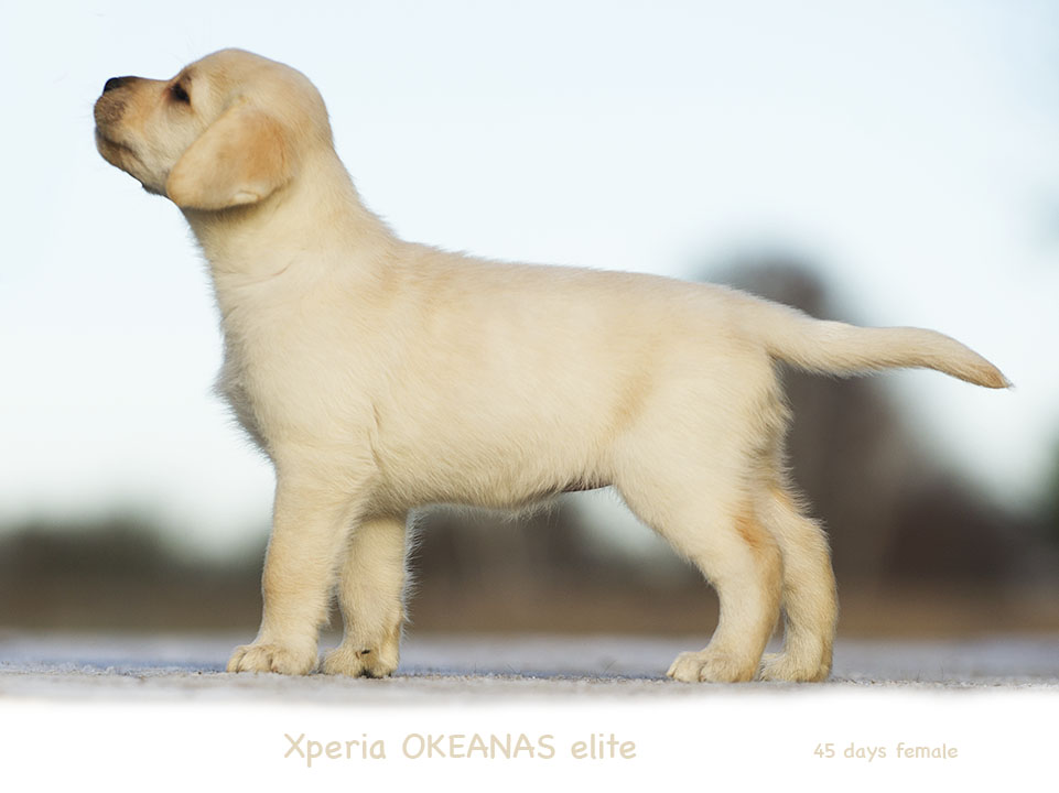 Xperia OKEANAs 45d. Labradoro retriveriai
