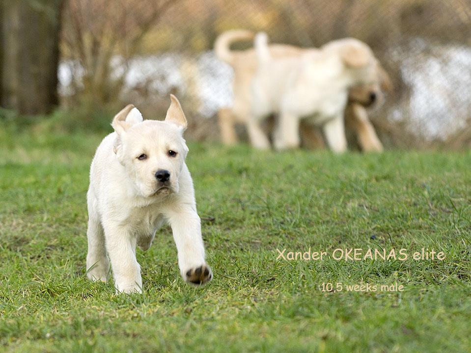 Xander - 10,5 weeks Labrador retriever