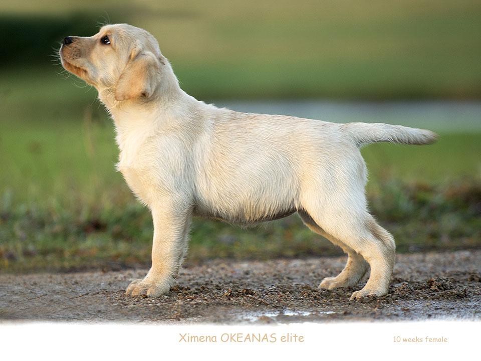 Ximena OKEANAS 10 weeks Labrador retriever