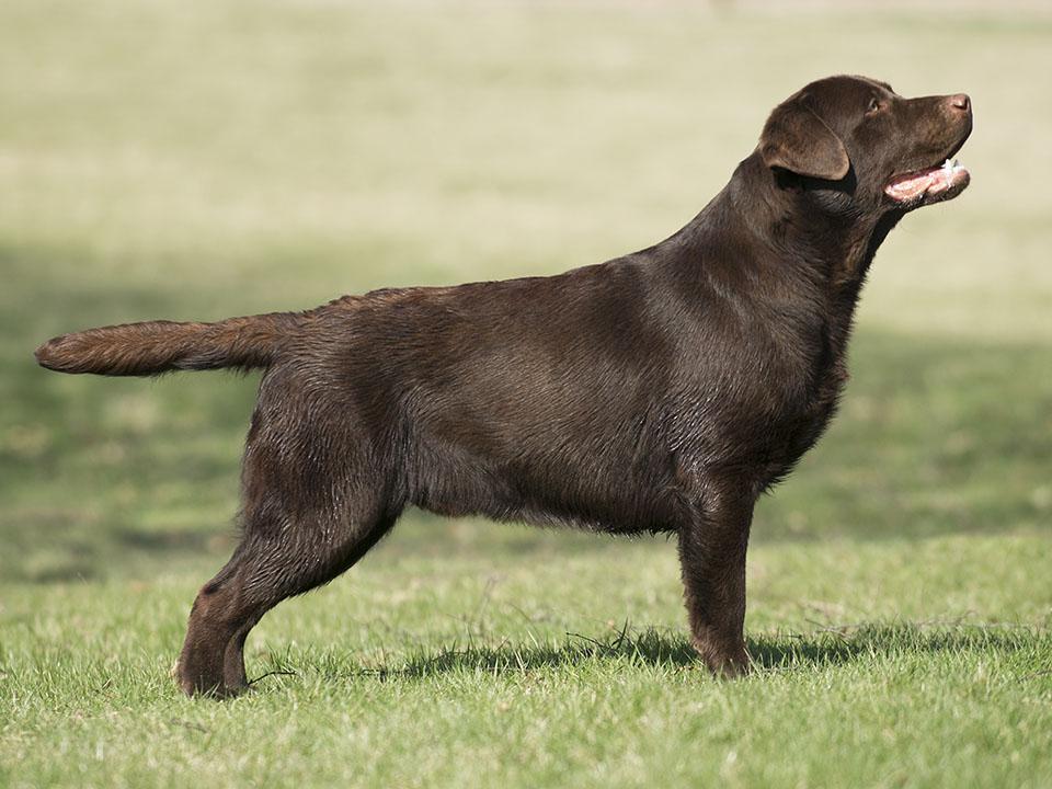 Enzo 11 months. Labrador Retriever reproducer