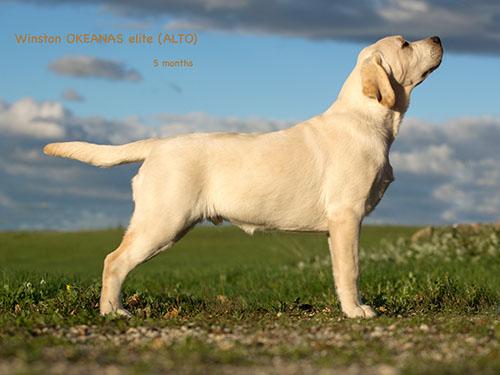 Alto 5 months. Labradoro retriveris