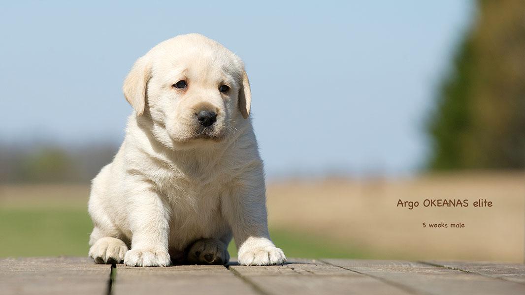 Labrador retriever. Argo 5 weeks