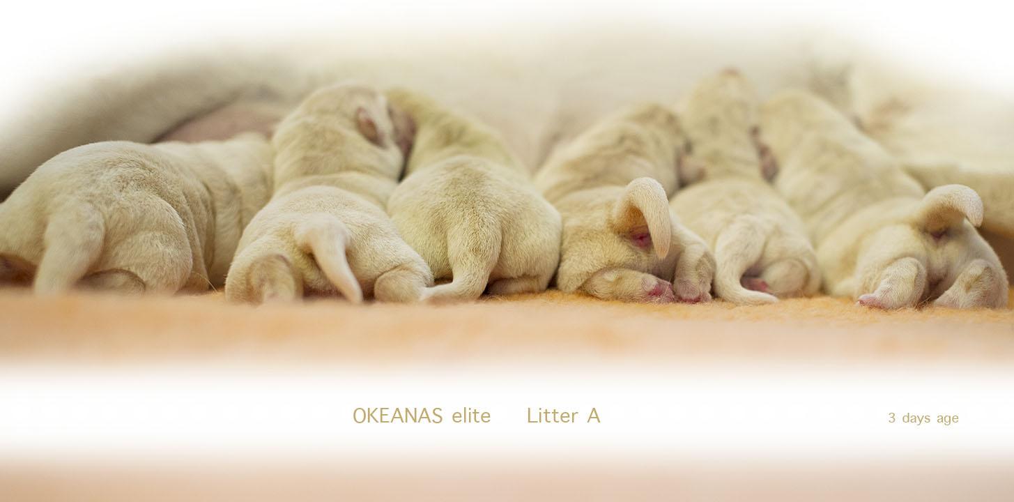3 days age. Labrador puppies