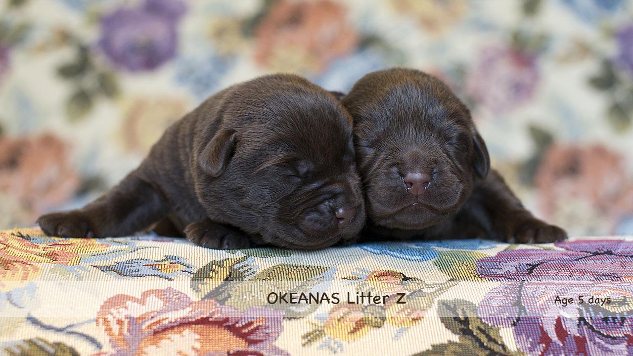 Litter Z. 5 days Labrador Retriever