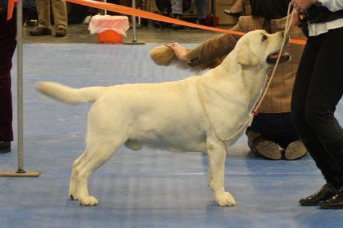 Labrador retriever male. PAco